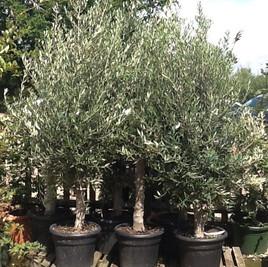 #olivetrees #evergreentrees_#coastalplan