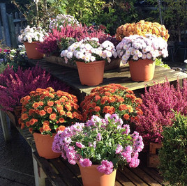 Some autumn colour, looking its best in