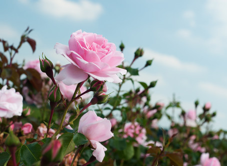 Roses for your garden
