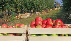 rural apple orchard.jpg
