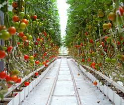 hydroponic tomatoes.jpg