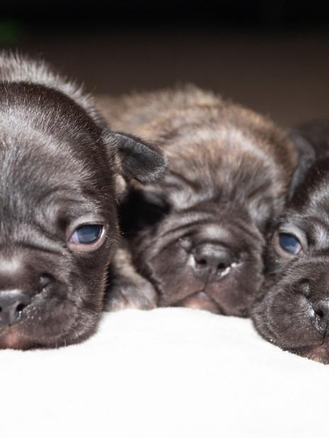 French Bulldog puppies (2 weeks)