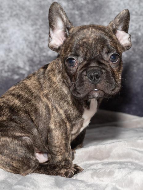 French Bulldog puppy (6 weeks)
