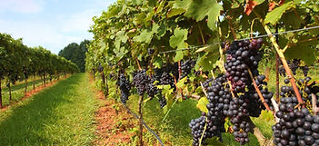 Stock Vineyard.jpg