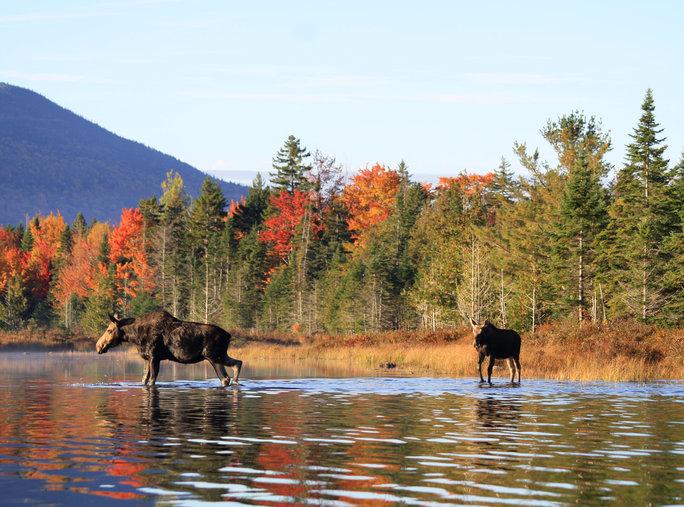 VT moose