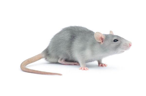 roedor.jpg