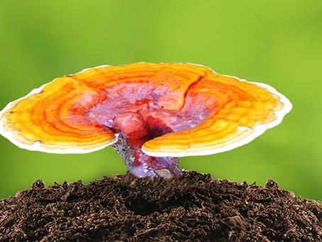 ¿Qué es el Ganoderma Lucidum?