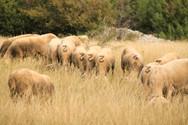 Est ce que le mouton a conscience d'aller en troupeau ? (Plateau du Larzac)