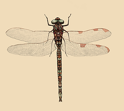 ilustración científica libélula