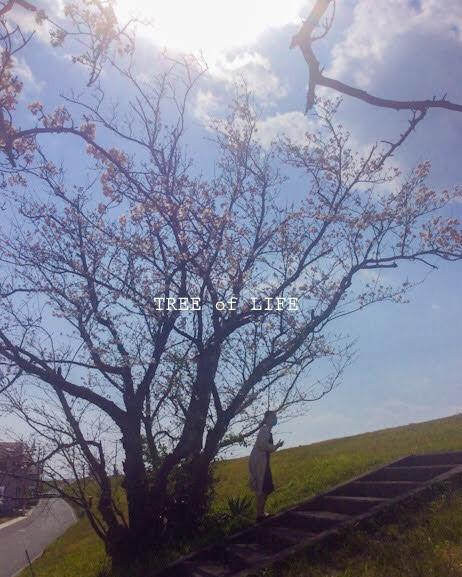 弊社付近の桜