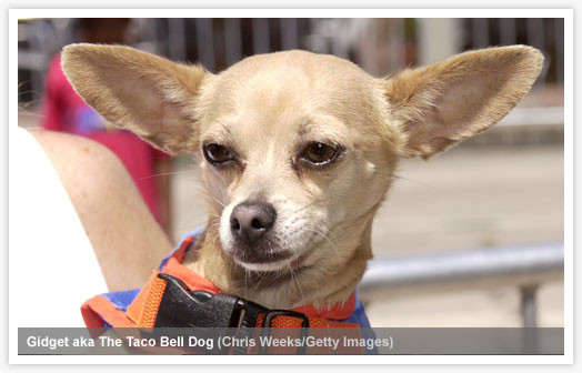 Not Shadow, this is the Taco Bell Dog