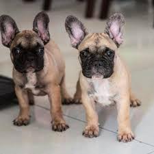 french bulldog puppies.jpg