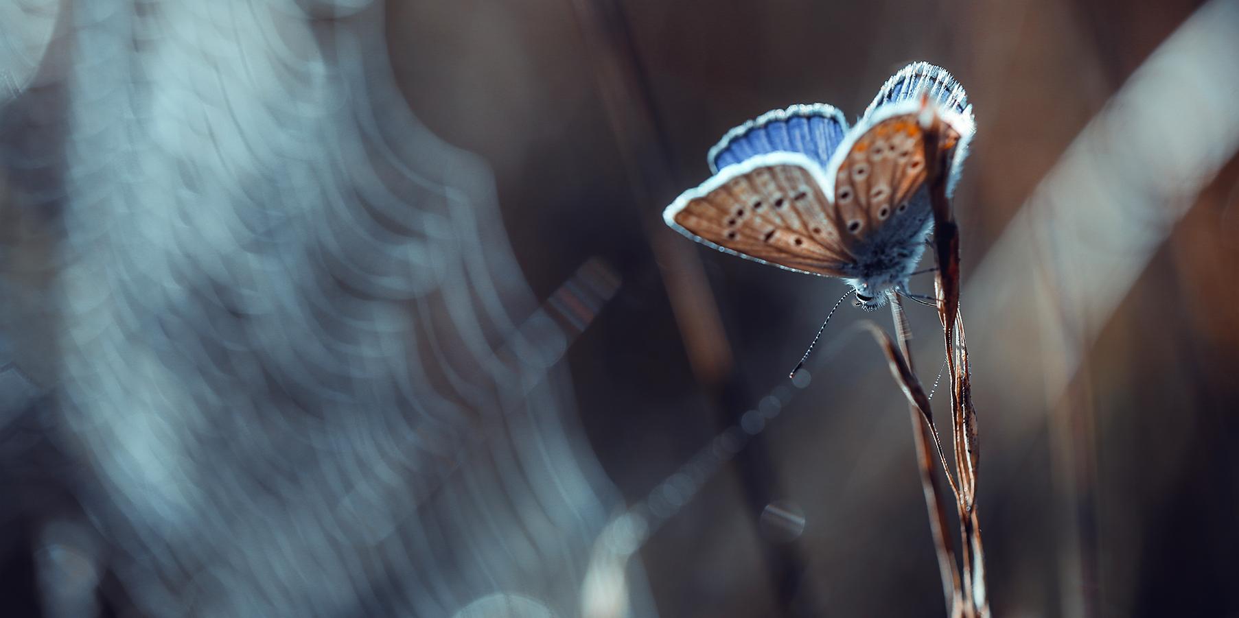 Argus bleu I