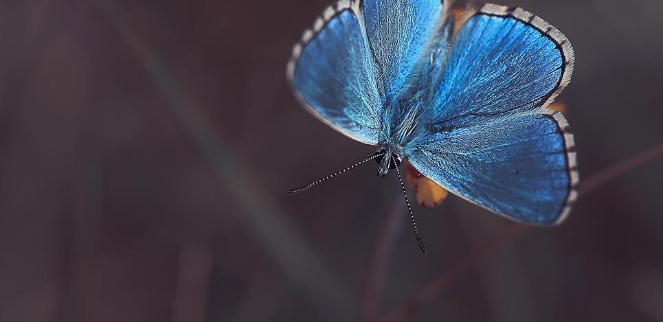 Argus bleu II