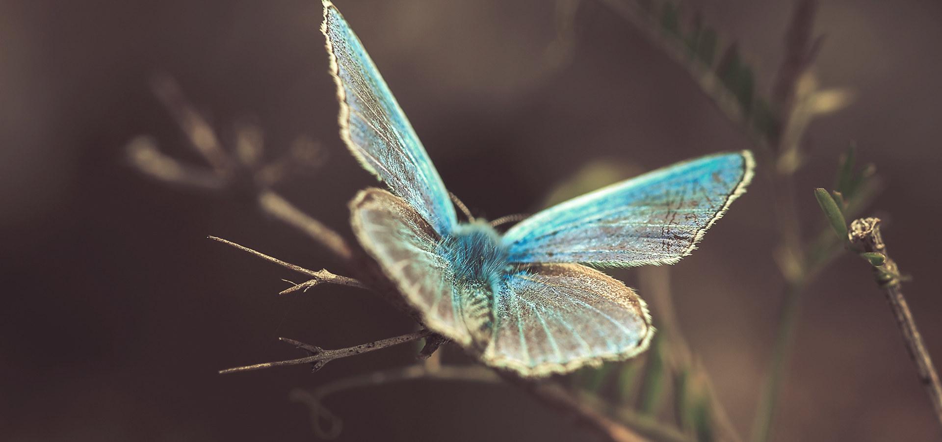 Argus bleu IV