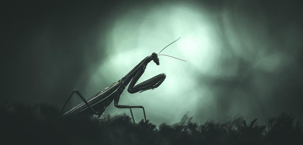 Mantis religiosa II
