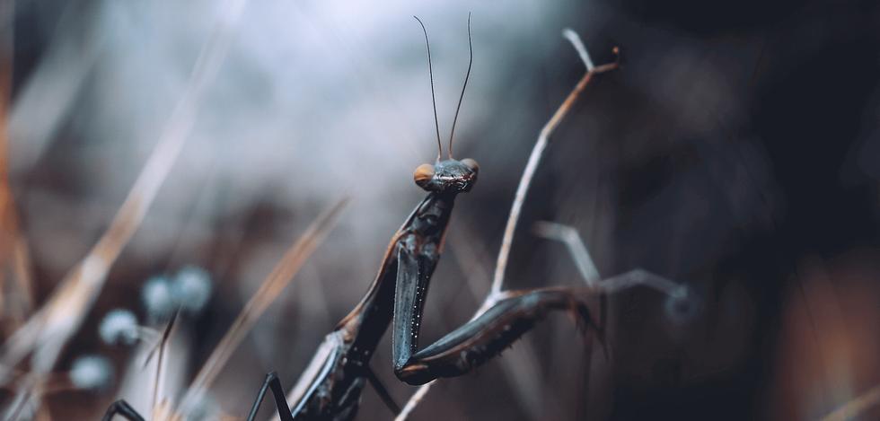 Mantis religiosa IV