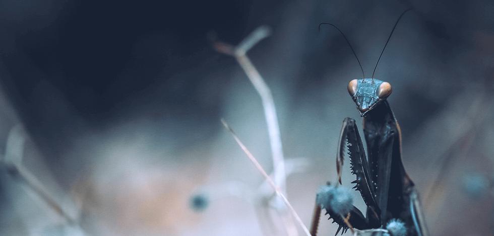 Mantis religiosa V