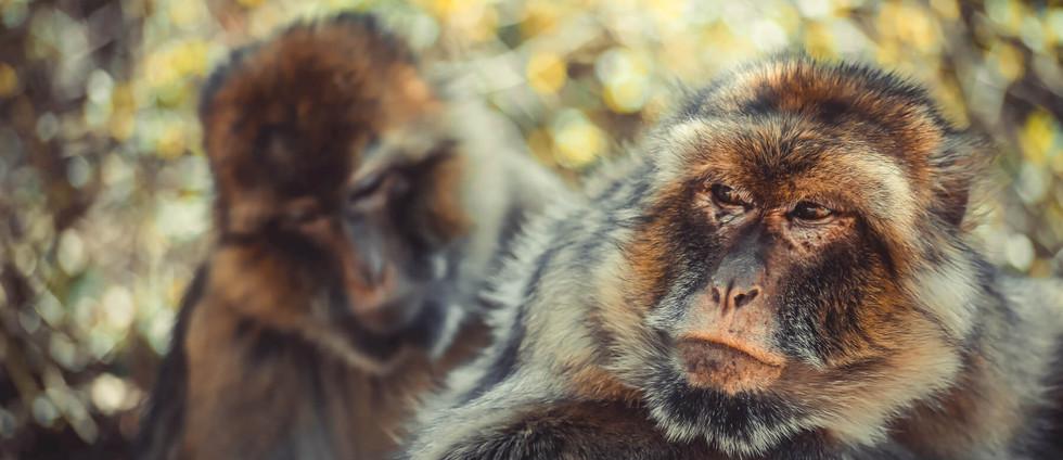 Macaque de Barbarie II