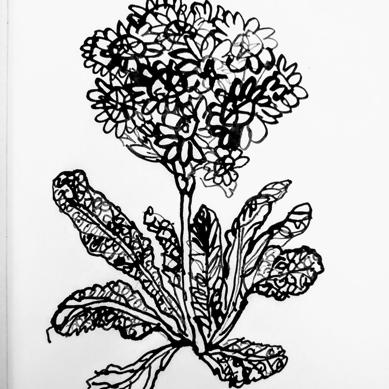 Thailand Plant drawing