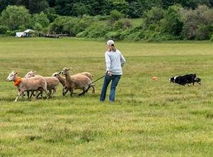 Sheepdog-Trials_edited.jpg