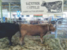 DEXTER CATTLE - DUN HEIFER EXHIBIT Seymo