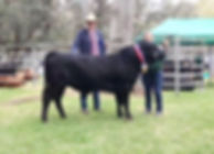 DEXTER CATTLE - Champion - Dexter Cattle Breed Show 2018