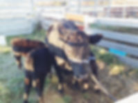 Dexter, cattle, house-cow, quiet, milking, training, quality, dairy products, cheese, home made, milking, quality-milk, balanced, dexter cow-in-calf