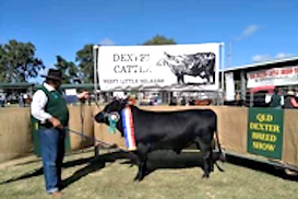 Dexter Cattle QLD Breedshow Supreme champion Bull - Bircham Langle