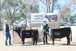 Dexter Cattle Breed Show 2014 Junior & Res Champions
