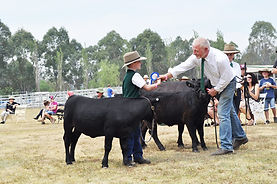 Dexter Cattle on show in New South Wales