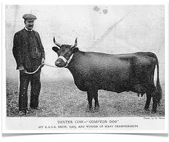 DCAI Web site: Dexter Cow 1908