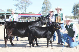 Dexter Cattle Breed Show 2014 Grand Champion