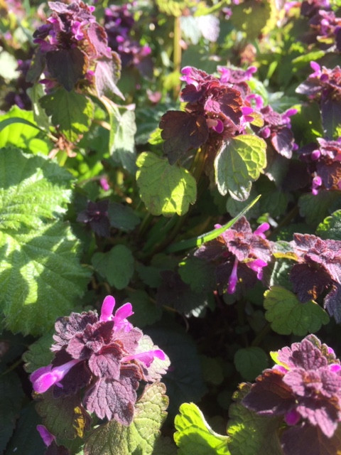 red dead nettle.JPG