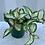 Thumbnail: Hoya Tricolor