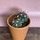 Thumbnail: Cactus in clay pot