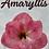 Thumbnail: Amaryllis Kit