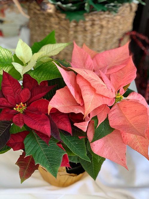 Small - Tri-color Poinsettia