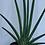 Thumbnail: Fantail Sanseveria