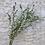 Thumbnail: Baby Eucalyptus - Dried