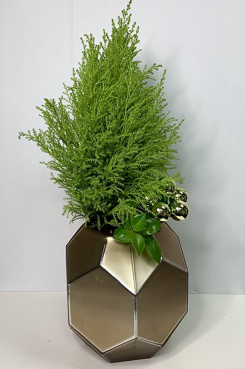 lemon cypress plant