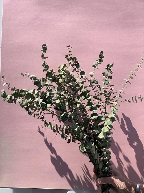 Baby Eucalyptus - Dried