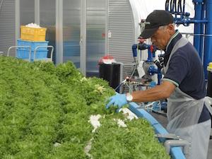 収穫作業.JPG