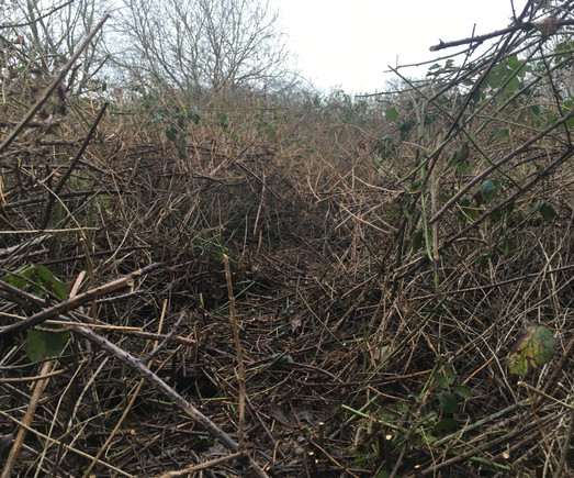 Clearing passage ways through a dense bramble thicket in the winter to increase the habitat diversity and allow light to reach the ground encouraging wild flowers.