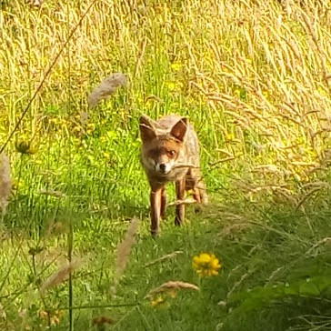A fox in the open. It is very rare to see a rural fox in broad day light like this. It was very dry in 2018 and all the animals had to forage around the clock to get enough food to eat.