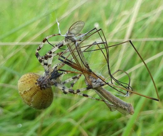 A beautiful four spotted orb weaver spider wrapping up a cranefly in silk.