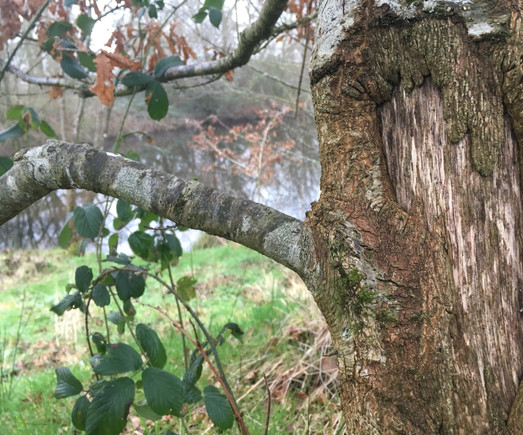 The young oak above the lake was badly damaged by over grazing before we acquired the land, but it is now healing well.