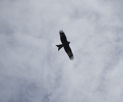 The red kite is the symbol of Welsh wildlife conservation.