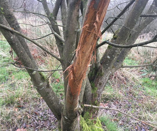 Willow damaged by a fallow deer buck. The deer normally live in a nearby woodland, so it is likely that this buck was pushed out by a dominant male during the rut so took his frustation out on this willow tree  no lasting damage, we're happy to have deer on the land.
