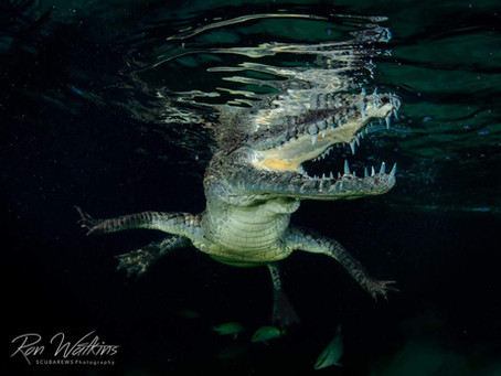 Diving with Crocodiles in Cuba | Scuba Diving Blog
